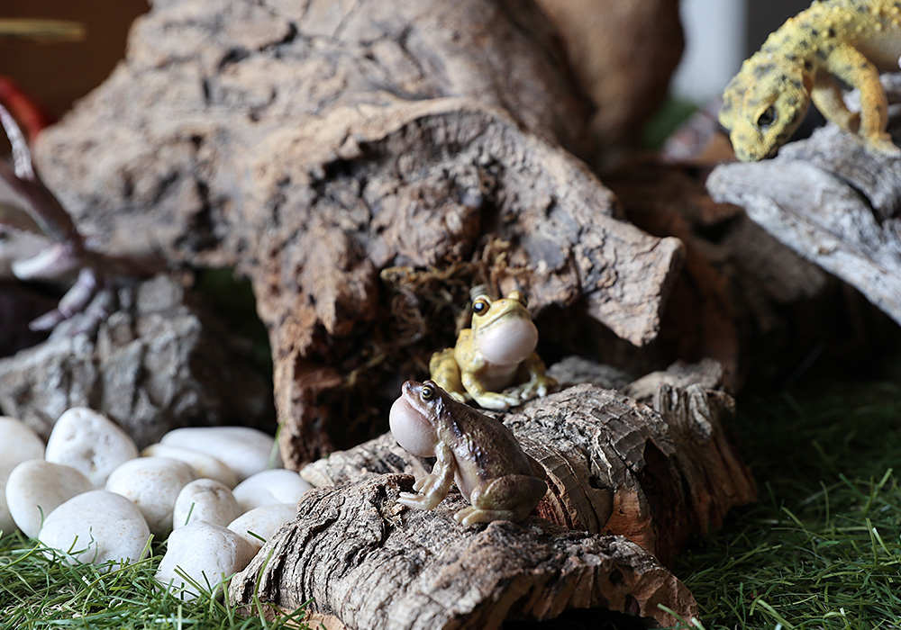 REPTILES MAG OMATE NARROW MONTHED FROG(レプタイルズ マグ ヒメアマガエル)のイメージ写真01