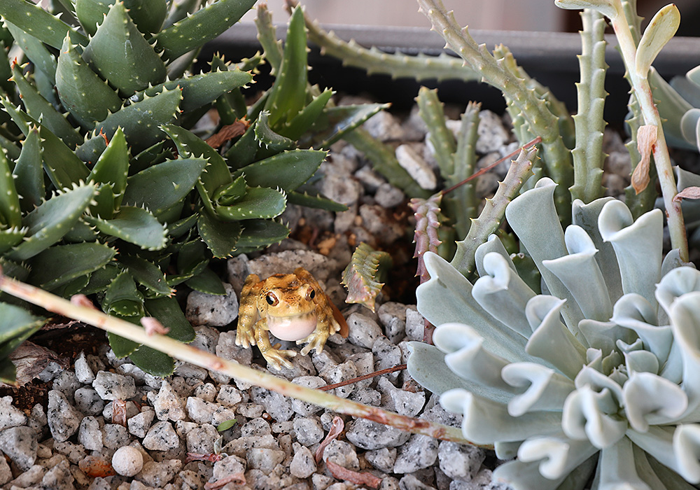 REPTILES MAG RYUKYU KAJIKA FROG BLOW BUBBLES(レプタイルズ マグ リュウキュウカジカガエル)のイメージ写真02