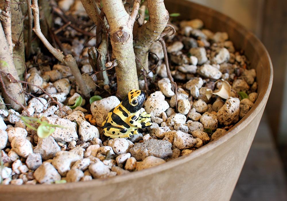REPTILES MAG YELLOW-BANDED POISON DART FROG(レプタイルズ マグ イエロー ポイズンダートフロッグ)のイメージ写真02
